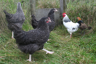 Our Happy Hens, Whiteley Royd Farm, Hebden Bridge