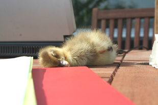 Duckling sleeping on table, Whiteley Royd Farm, Hebden Bridge